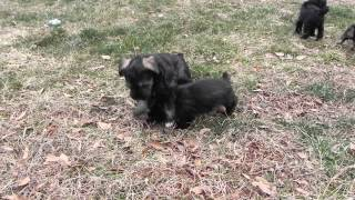 Miniature Schnauzers - Zoey And Her Siblings Play In The Backyard