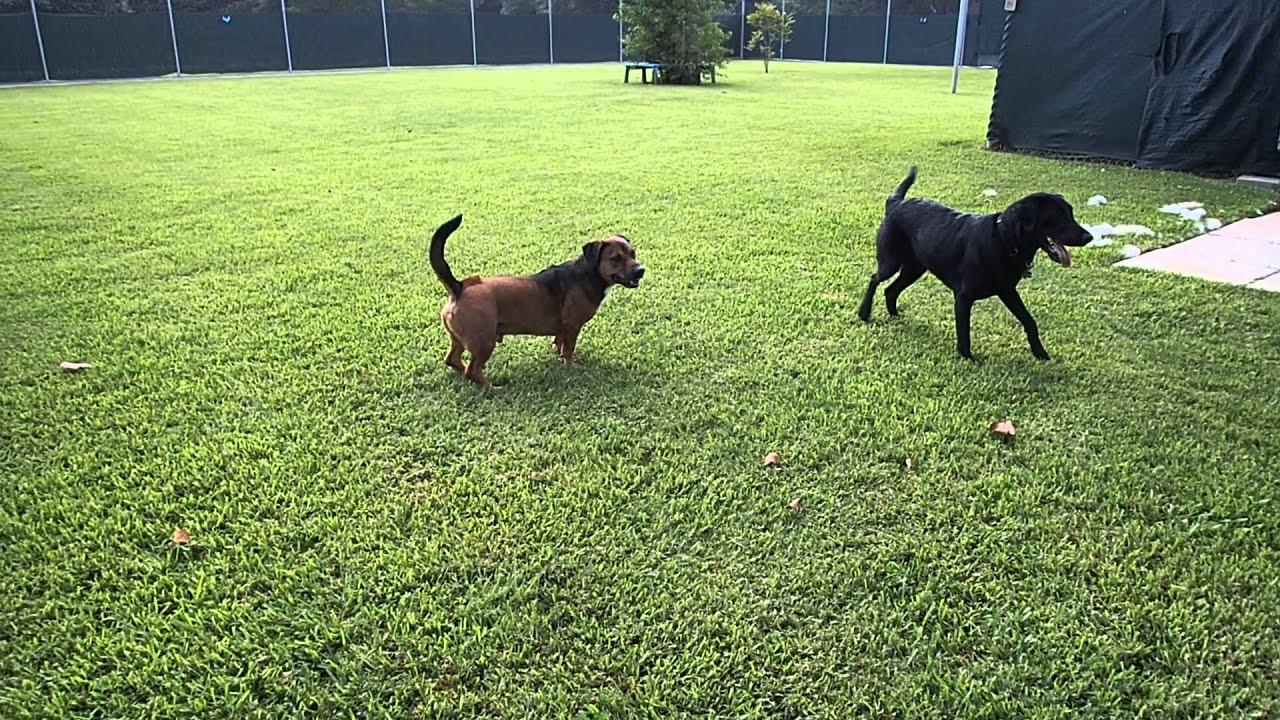 Black Labrador Retriever Jeeter Golden Retriever Mix Basset Hound