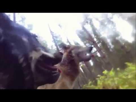 Норвежский элкхаунд против двух волков
