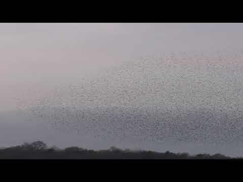 Stunning Entire Starling Birds Murmuration Minsmere 30jan2018