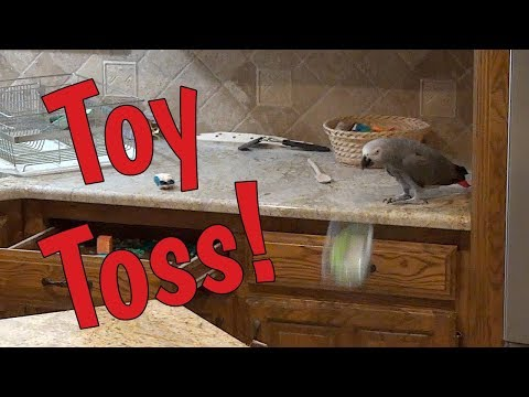 Einstein Parrot mischievously throws toys on floor and then hides