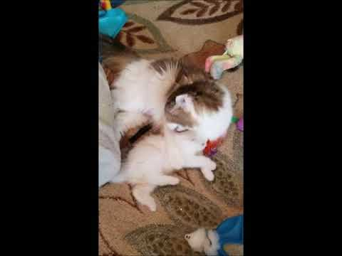 RagaMuffin Cat World- Lola, Sierra, Miss Kiss, Cosmo