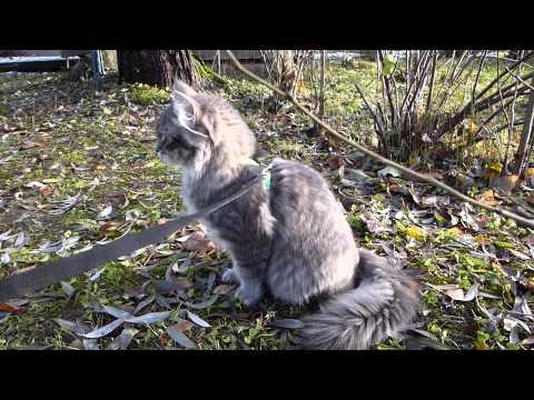Siberian kitten on a walk