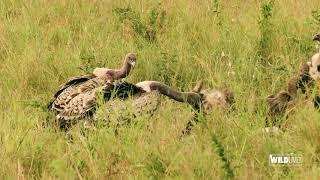 WILDLive! - Tanzania - Vautours - S03 E05