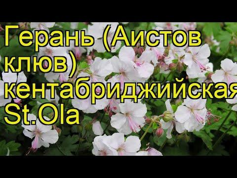 Герань кентабриджийская Сайнт Оле. Краткий обзор, описание geranium cantabrigiense st.ola St.Ola