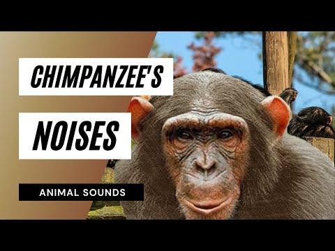 The Animal Sounds: Chimpanzee Noises - Sound Effect - Animation