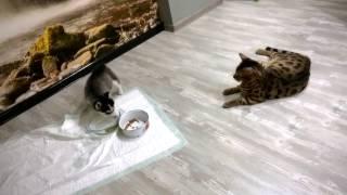 Хаски первое знакомство с котом(, 2017-02-17T00:28:10.000Z)