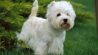 Le Westie Ou West Highland White Terrier : Origine, Personnalité, éducation, Santé Et Choix Du Chiot