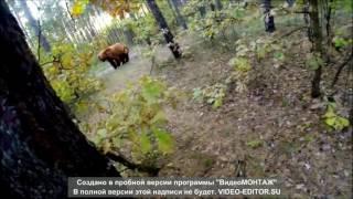 подборка нападений медведей на людей! attack bears!