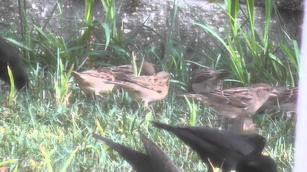 flock backyard birds red winged black birds finches eating seed hd