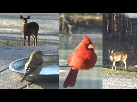 Bird feeders in Action! Beautiful Birds & Deer visit us on New Years Day 2018