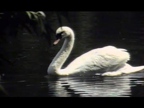 Irys - Białe łabędzie