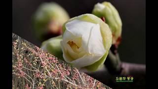 雪花園의 靑梅花 사랑일까 2018