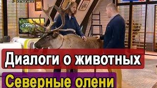 видео Где покататься на оленьих и собачьих упряжках в России