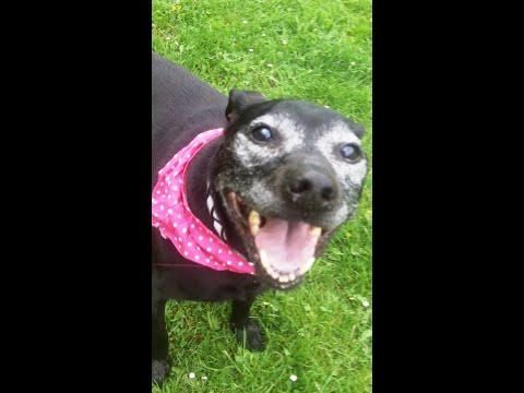 Lovely Levi Staffordshire Bull Terrier Pensioner mooching.