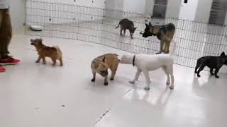 Boo the American Bulldog Puppy's First Puppy Day Care Session