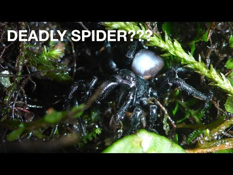 Mouse Spiders Potentially Deadly Spiders?