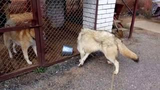 волк и  лайка