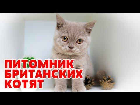 Питомник Британских Котят в Минске. Купить в Минске британца с родословной.