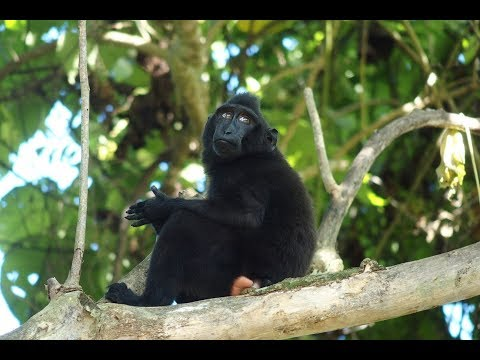 Tangkoko National Park: Crested Black Macaques and Hornbill