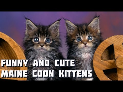 Maine Coon Cat Video - Funny and Cute Maine Coon Kittens