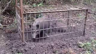 罠にかかった猪の親子