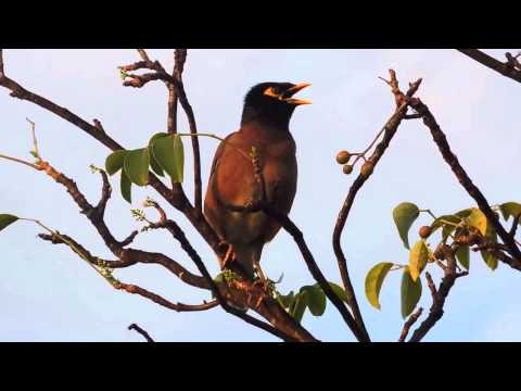 Common Myna (Acridotheres tristis) Singing Calling Miami-Dade County Florida