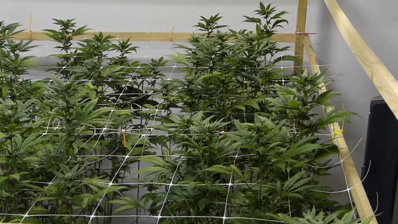 Jade Plant Indoor