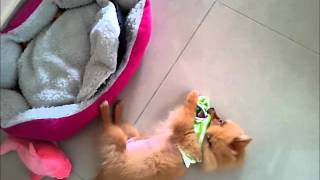 Pomeranian Puppy For Sale - 6 Months, Pomeranian (lucky) -..