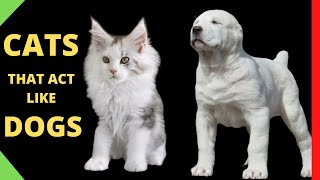 These Are 10 Cat Breeds That Act Just Like Dogs