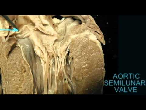 Ap2 Heart Anatomy Quiz Aortic Semilunar Valve In Cowavi Youtube