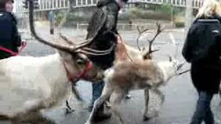 Walking with Reindeer in Middlesbrough