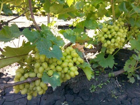 Фунгициды для защиты винограда от оидиума, милдью, антракноза, фомопсиса, серой гнили,