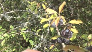 Video How to ID Sloes for Sloe gin etc download MP3, 3GP, MP4, WEBM, AVI, FLV November 2017