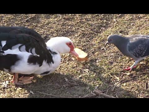 Le canard de barbarie ou canard de ferme youtube - Cuisiner les aiguillettes de canard ...