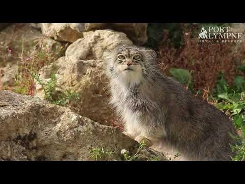 Small Carnivore September: Species Spotlight: Pallas Cat