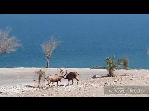 Amaizing World, DANGEROUS FIGHT Dead Sea,  Mothernature\u0026luck©