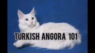 Turkish angora cats 101