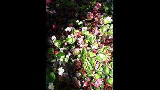 The Lazy Arizona Organic Gardener: begonias, alyssum