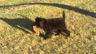 Black Male Standard Poodle For Sale