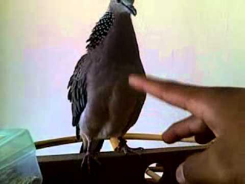 burung tekukur ku..