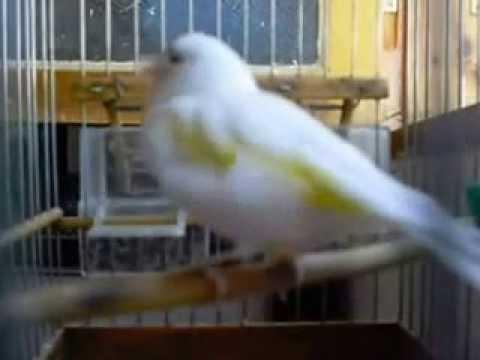 chardonneret mutation blanc bec rousie