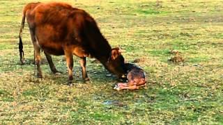 paquerette et son tout petit veau