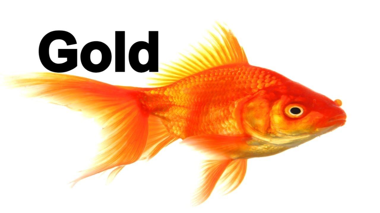 Golden fish 43