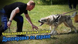 Чехословацкая волчья собака | Дрессировка по охране вещи