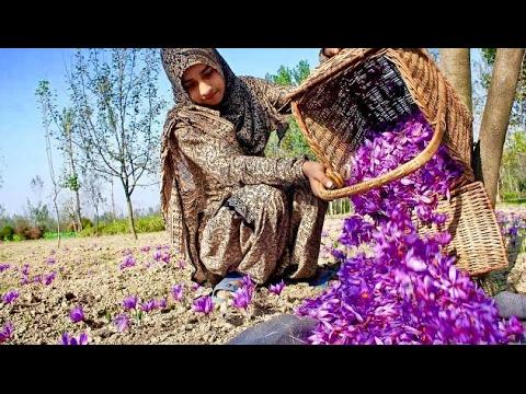 Saffron Fields Of Kashmir Worlds Most Expensive Flower Youtube