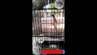 Master Kicau Indonesia    Cendet Full Isian Murai