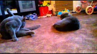 вязка шотладские коты