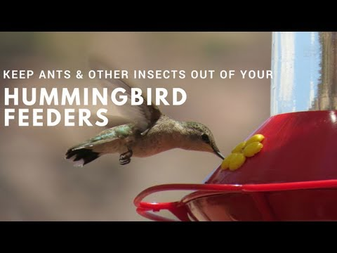 how to keep ants other insects out of hummingbird feeders youtube. Black Bedroom Furniture Sets. Home Design Ideas