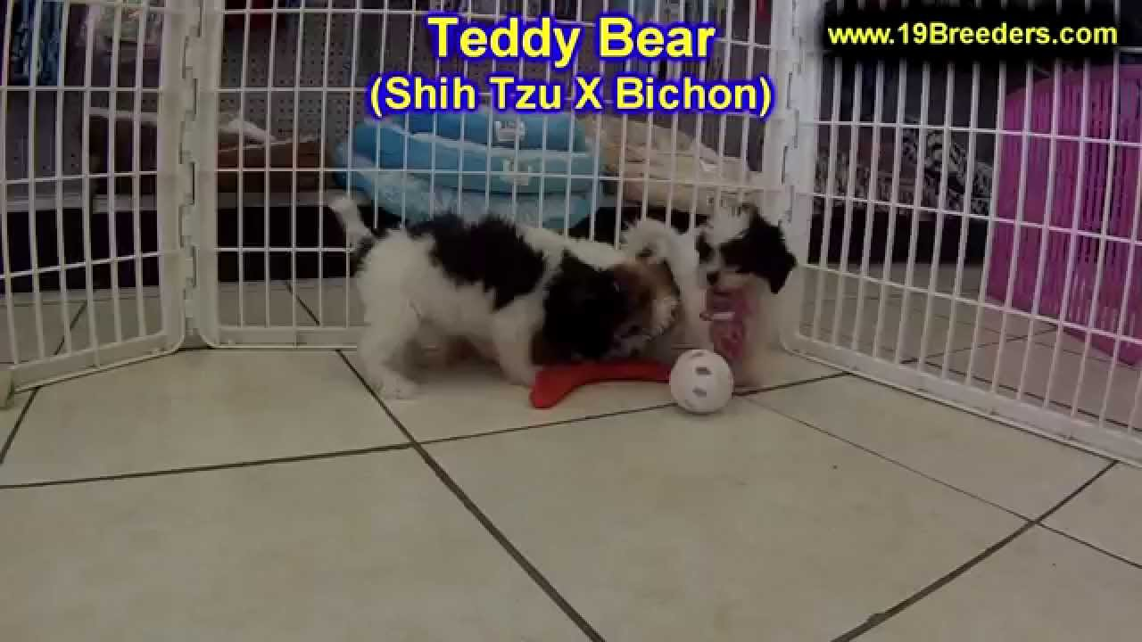 Teddy Bear Puppies For Sale In Des Moines Iowa Ia Bettendorf